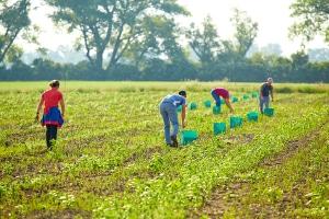Ein Arbeitsvertrag für Saisonarbeitskräfte in der Landwirtschaft sollte ab 2018 den gesetzlichen Mindestlohn vorsehen.
