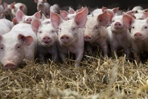 Auch in der Landwirtschaft bzw. beim Umgang mit Tieren kann die Biostoffverordnung zum Tragen kommen.